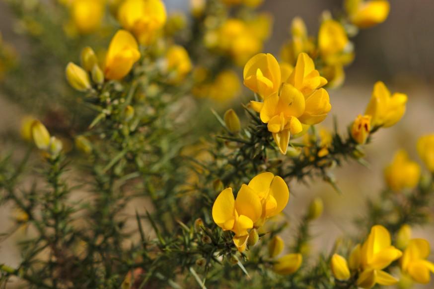 Ajonc fleuri Glendalough Irlande