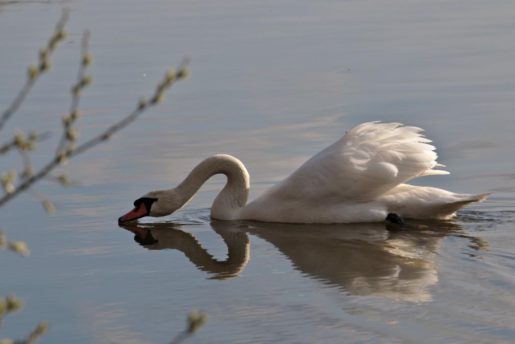 Cygne début du printemps Etang Reinheimer Teich