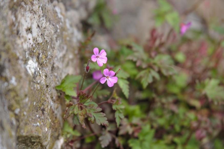 Geranium Herbe à Robert - Falaises de Bray