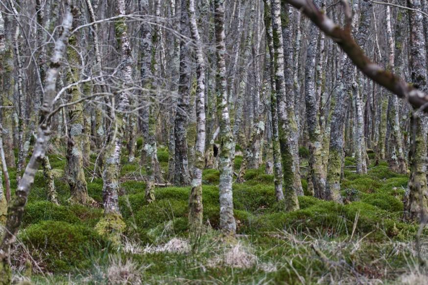 Jeunes arbres denses Glendalough