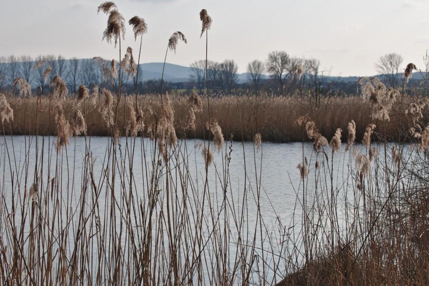 Roseaux début du printemps Etang Reinheimer Teich