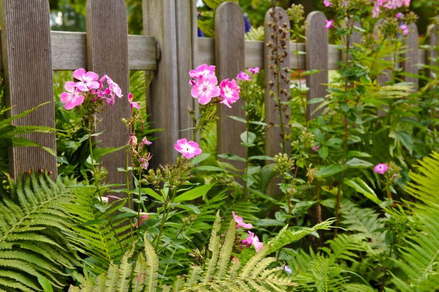 Phlox en fleurs - Walsrode - Lande de Lunebourg
