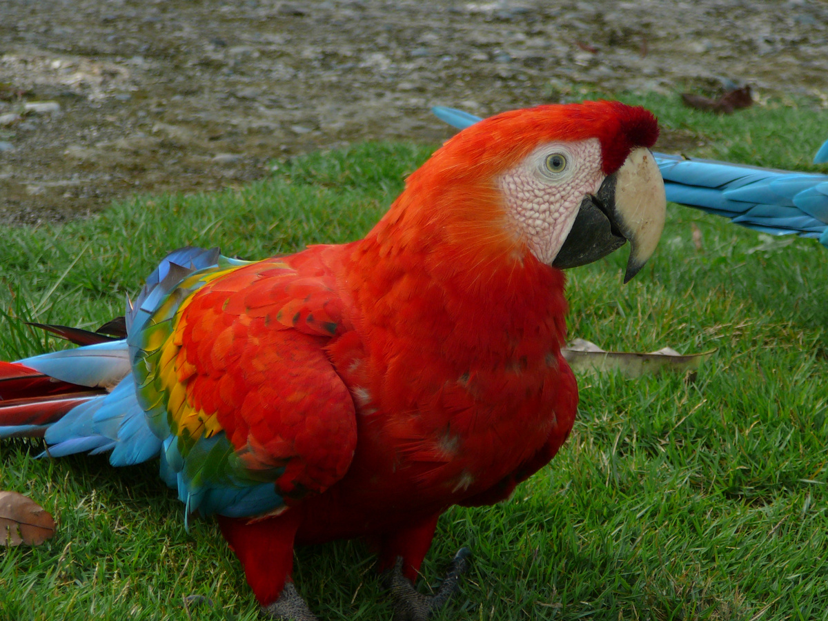 Perroquet rouge - villa carmen - pilcopata - perou