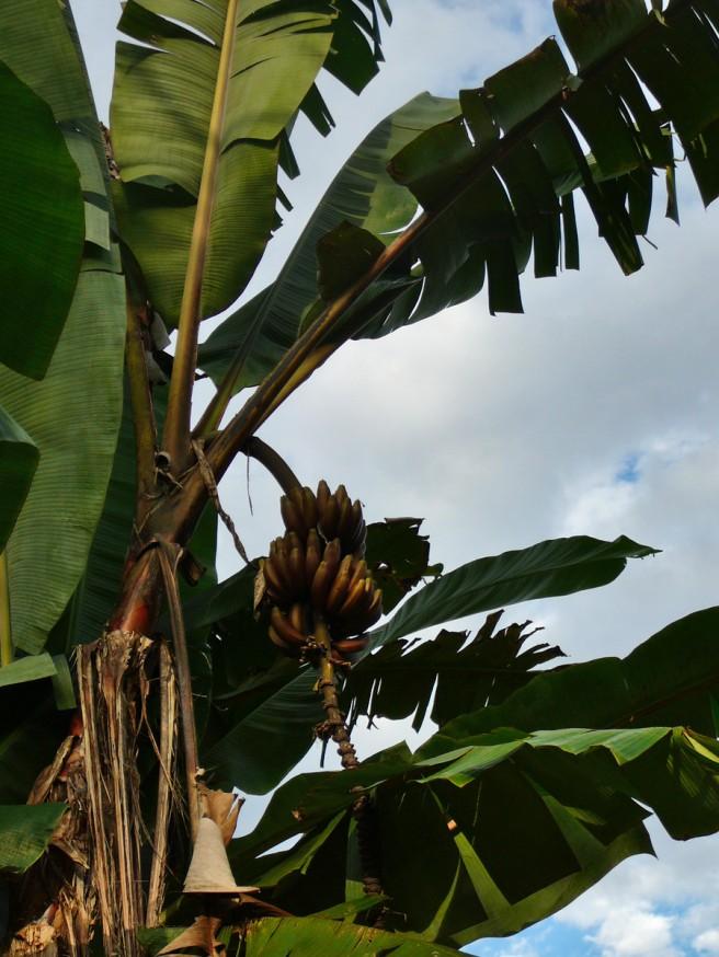 Bananier Pilcopata
