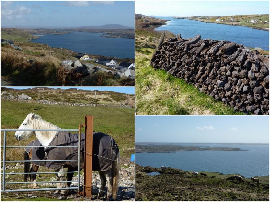 Poneys Connemara et tourbe