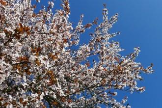 Cerisier fleurs printemps