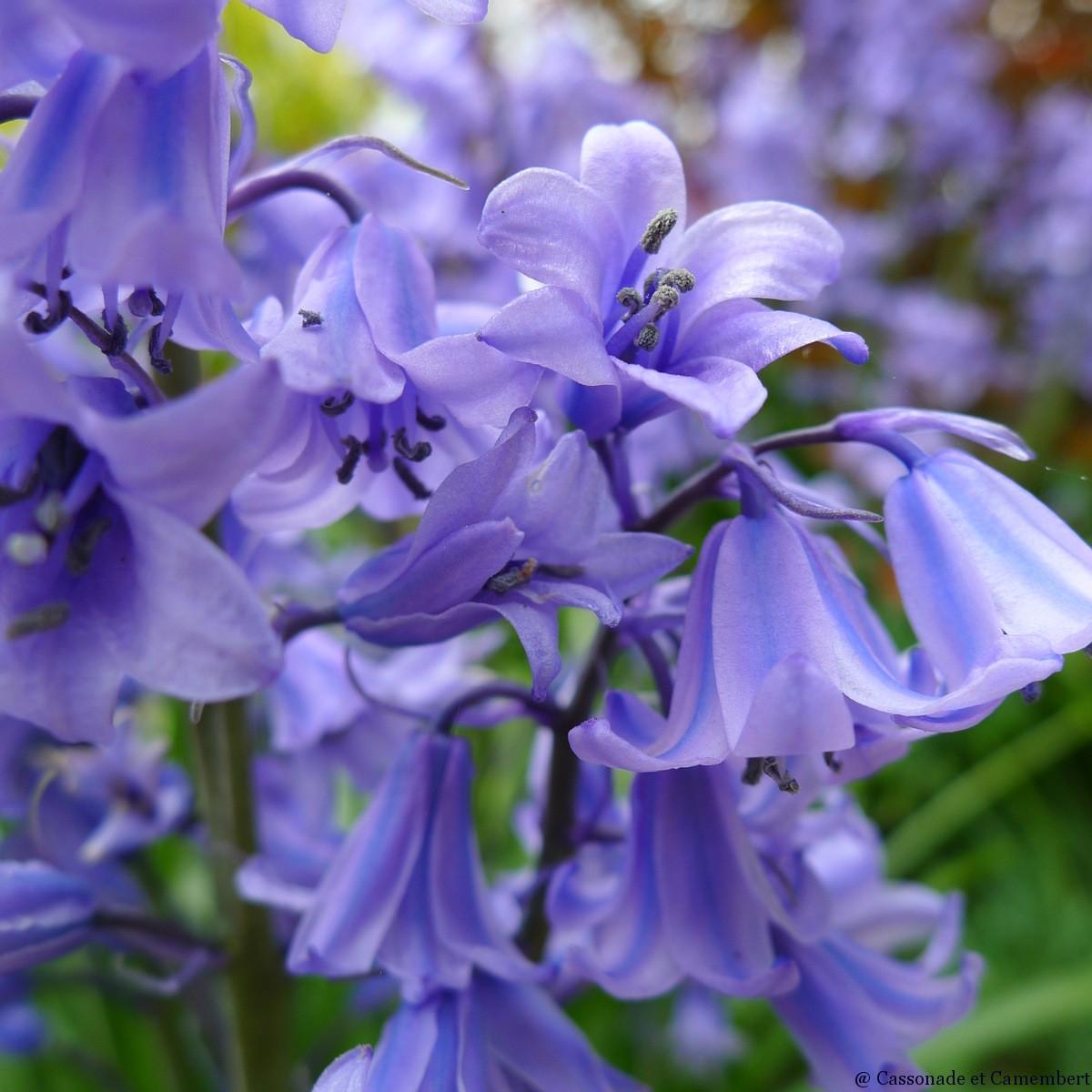 Fleurs avril - Jacinthe des bois