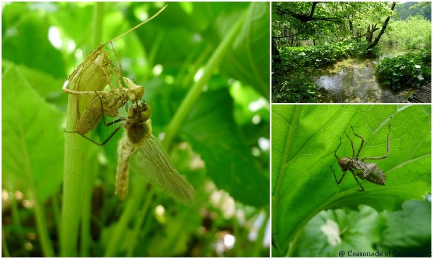 Larve de libellule Parc des lacs de Plitvice