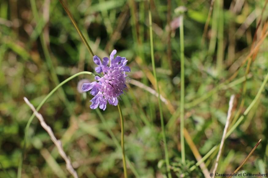 Fleur de scabieuse chateau de Montsegur
