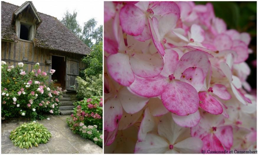 Hortensias jardins du pays d auge