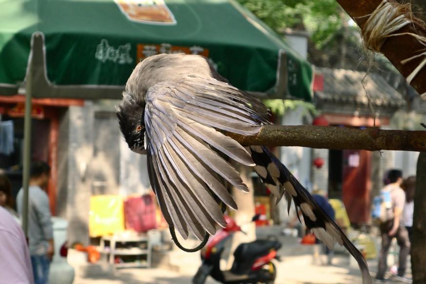 Oiseau rue Guozijian Pékin