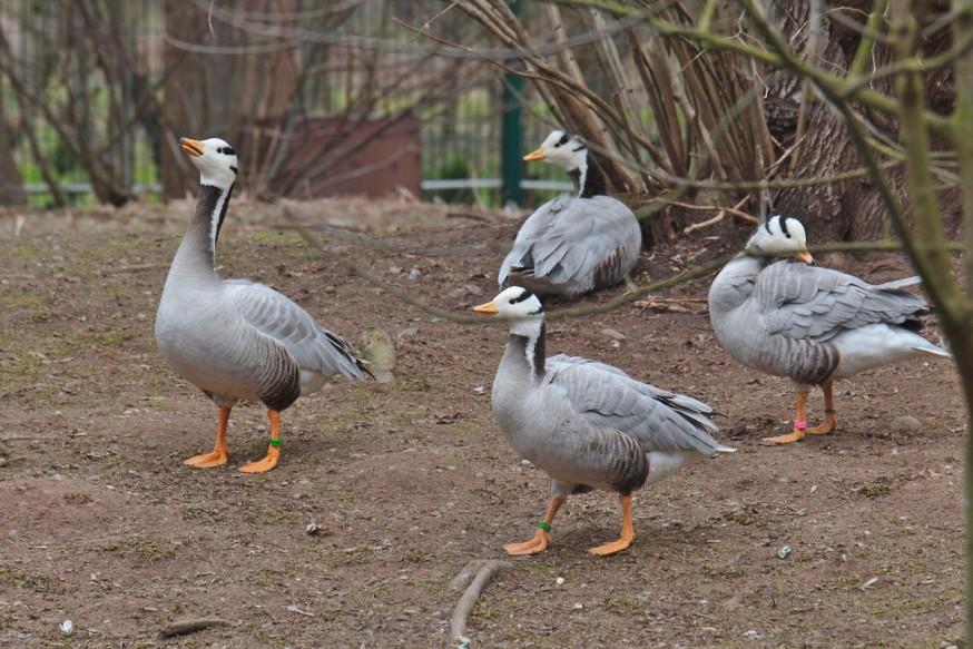Canards Zoo-Vivarium de Darmstadt