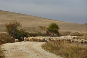 Chemin moutons Compostelle Meseta Burgos Hornillos del Camino