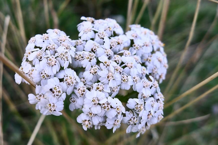 Fleurs sauvages randonnee tournette 1