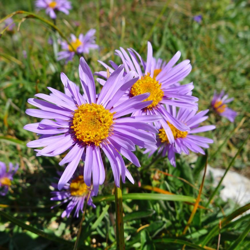 Fleurs sauvages randonnee tournette 7