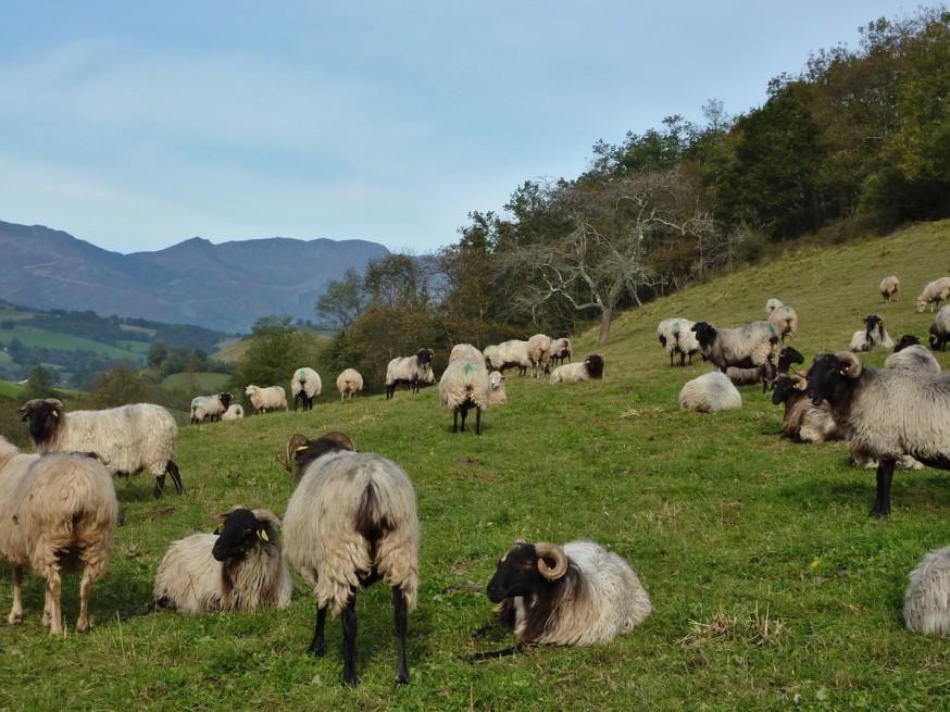 Moutons Compostelle Navarre