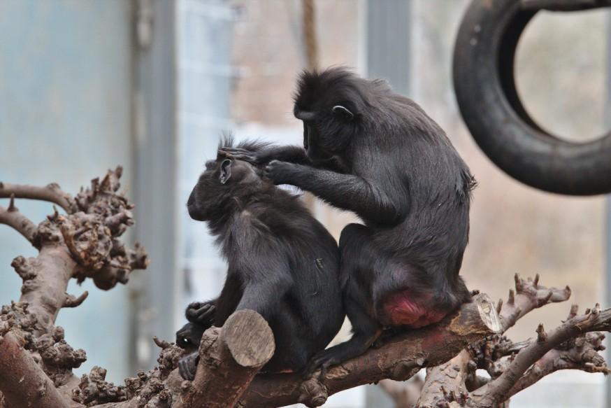 Seance d epouillage chez les singes Zoo-Vivarium de Darmstadt
