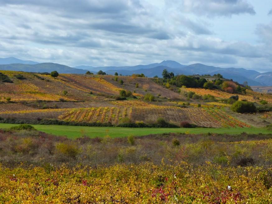 Compostelle - Bierzo - Champs de vignes en automne