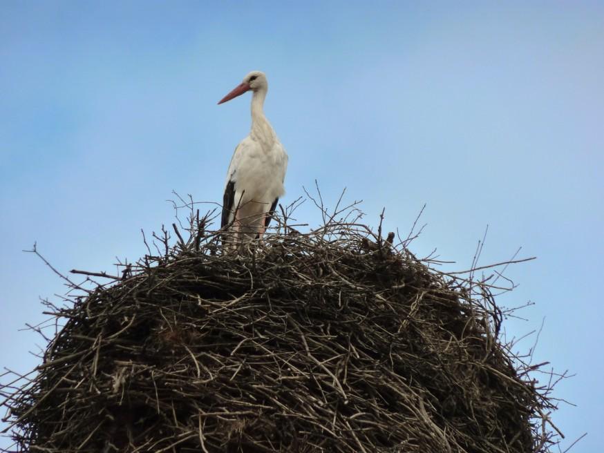 Compostelle - Bierzo - Cigogne sur son nid