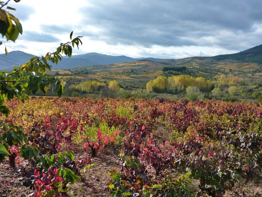 Compostelle - Bierzo - Vignes rouges à l automne