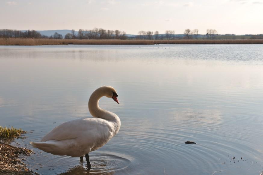 Cygne 2 début du printemps Etang Reinheimer Teich