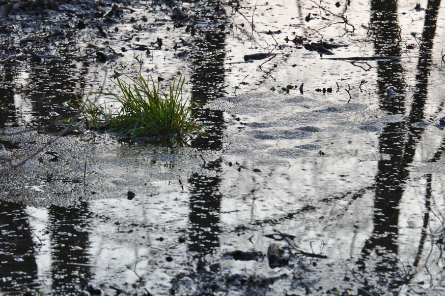 Oeufs de Grenouille Forêt Darmstadt début du printemps