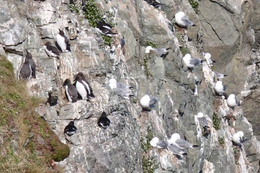Petits pingouins falaises de Bray