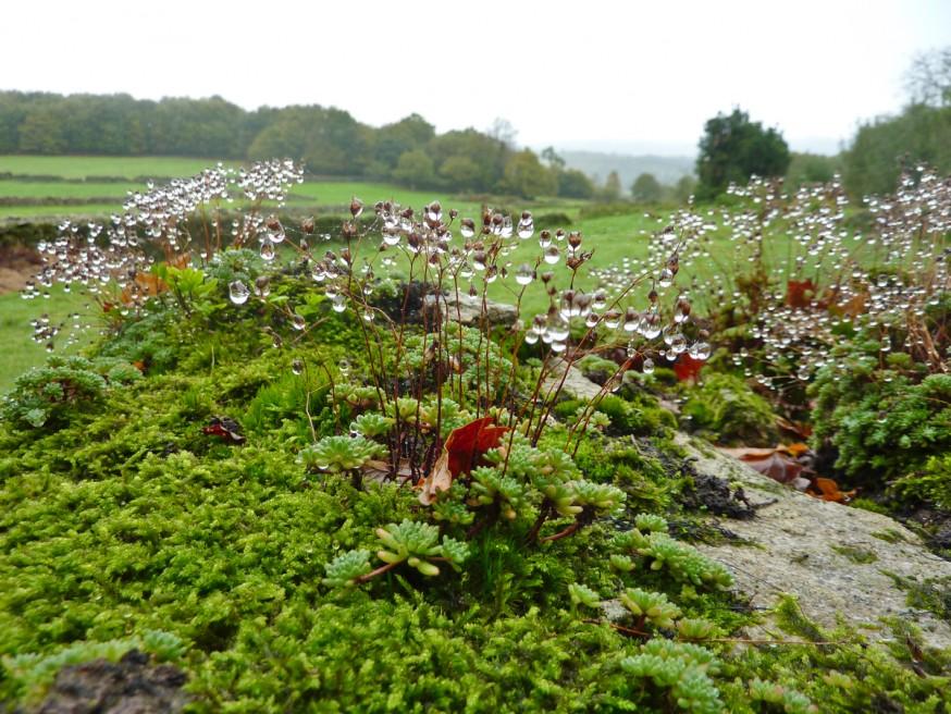 Compostelle - Galice - Goutelettes de pluie sur mousse