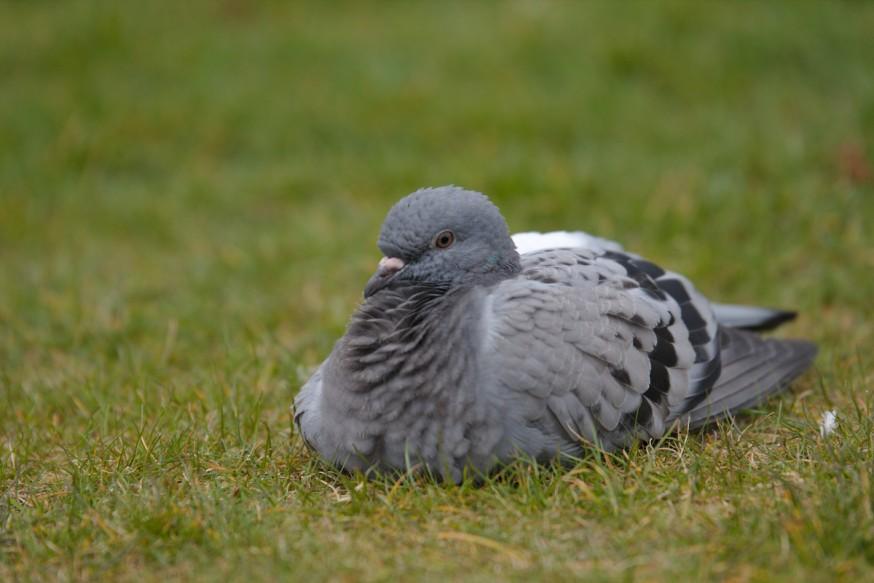 Dublin - 6 - Pigeon