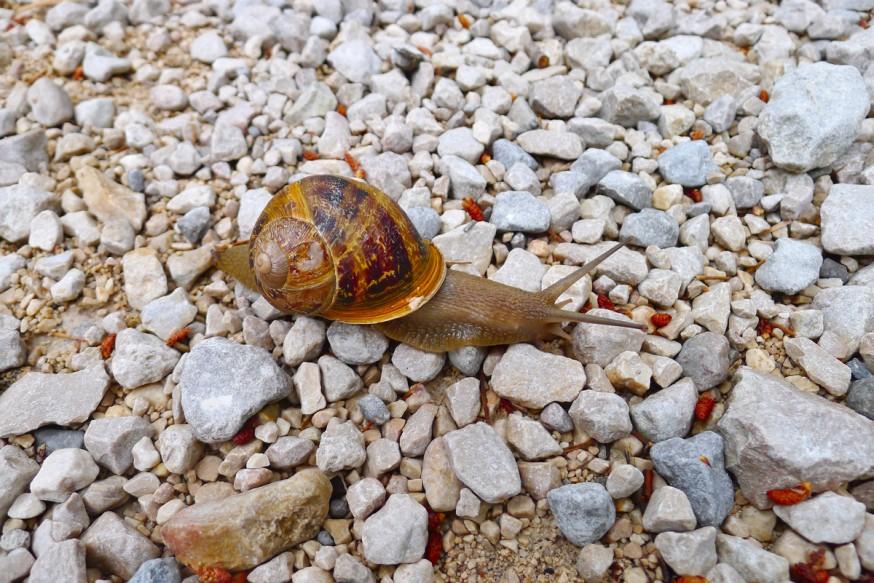 Escargot sur le chemin - Calanque d'En-Vau