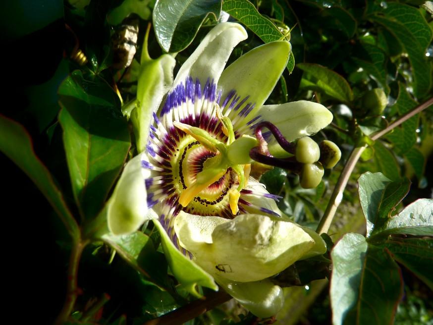 Fleur de passiflore - Galice - Compostelle