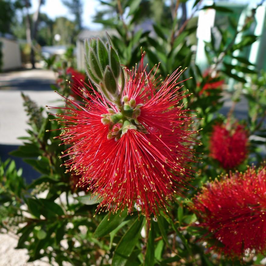 Fleur rouge de Callistemon citrinus