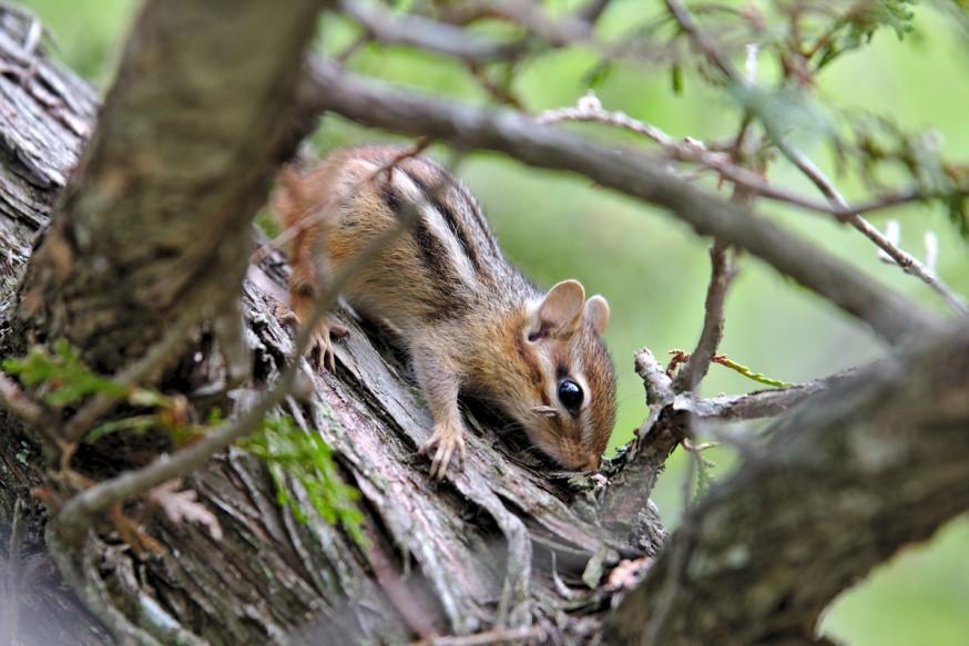Chipmunk - Killbear provincial parc