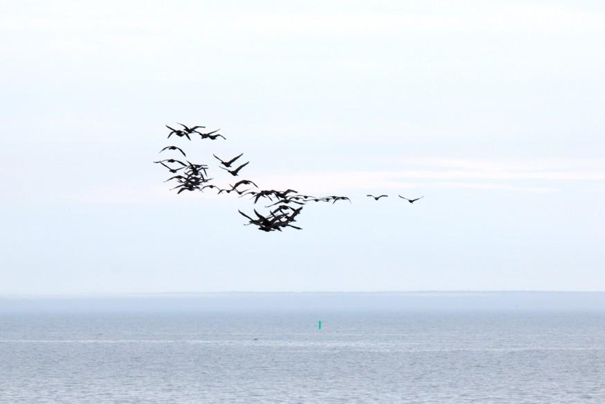 Cormorans en vol groupé - Iles de Toronto