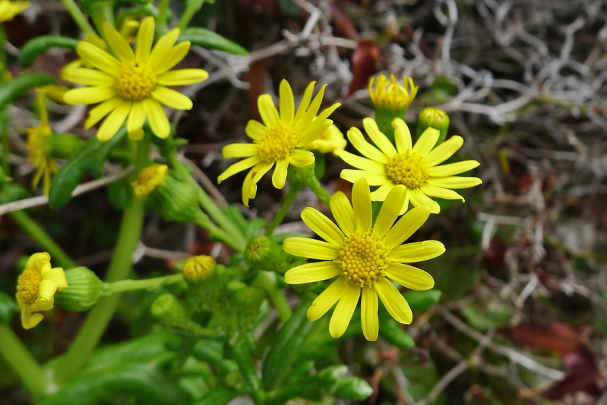 Fleurs jaunes calanques Marseille