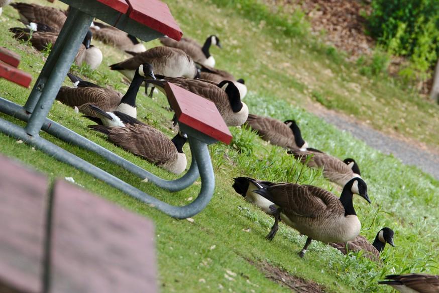 Oies - Duck Island - Iles de Toronto