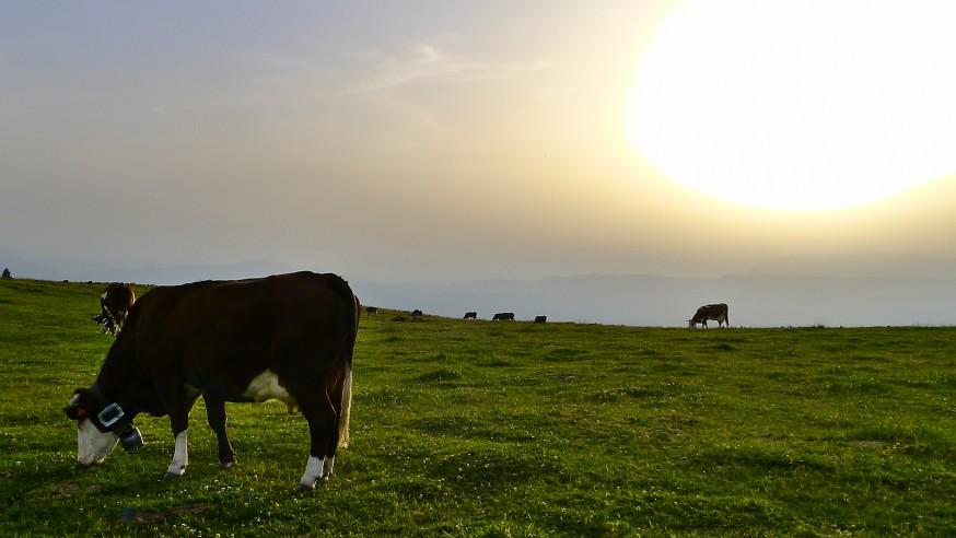 Vaches au soleil couchant - Semnoz - Rando lac d Annecy