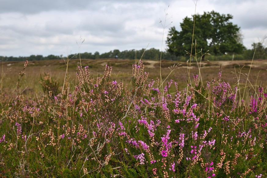 Bruyere en fleurs - Tourbière - Marais Pietzmoor - Lüneburger Heide