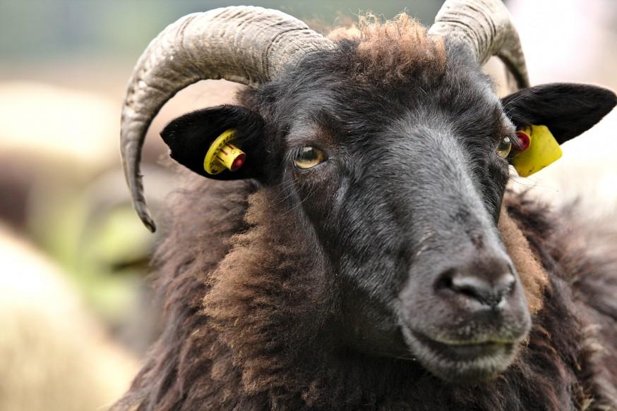 Heideschnucken - Mouton de la lande de Lunebourg