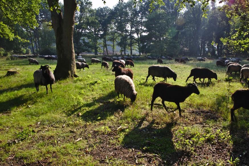 Moutons Jaglu - Heidschnucke - Wilsede - Lüneburger Heide