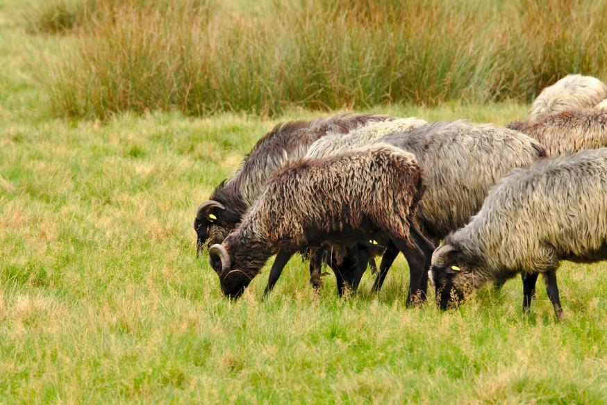 Moutons Jaglu - Heidschnucken - Osterheide - Schneverdingen