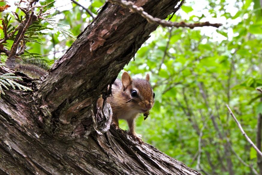 Cache-cache au chipmunk - Killbear Provincial Park