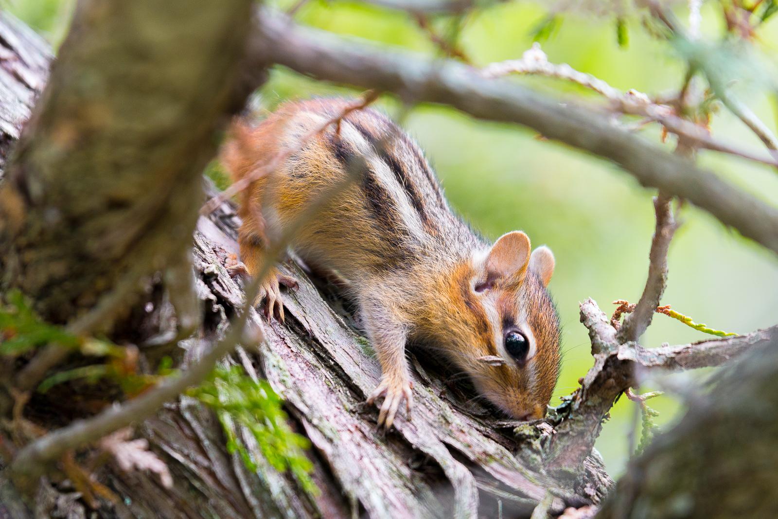 Chipmunk dans un arbre - Killbear Provincial Park