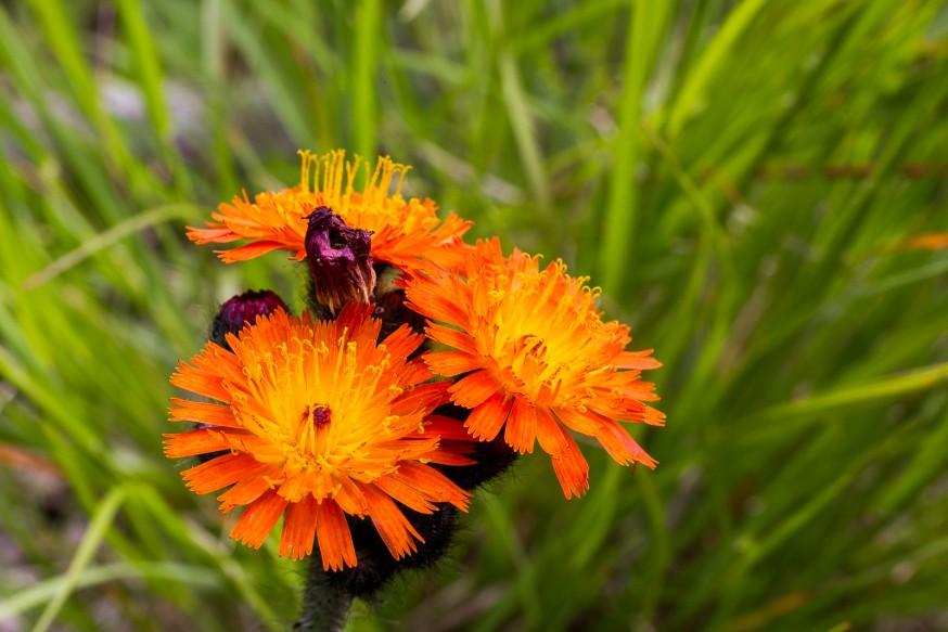 Fleur sauvage - Killbear Provincial Park