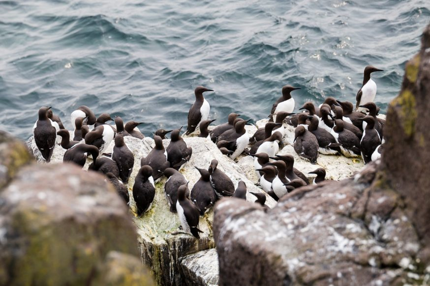Anstruther-IsleOfMay - colonie de guillemots