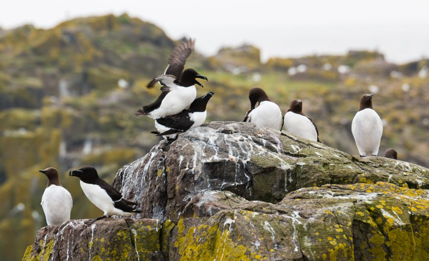 Anstruther-IsleOfMay- Petits pingouins et guillemots