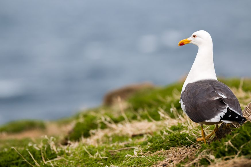 Anstruther-IsleOfMay-Mouette