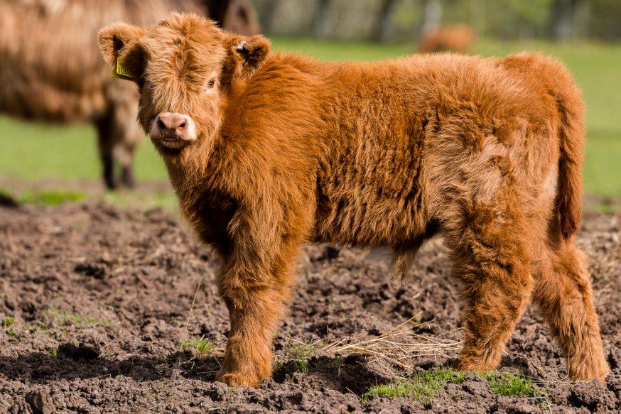 Applecross - Vache Highland - 1