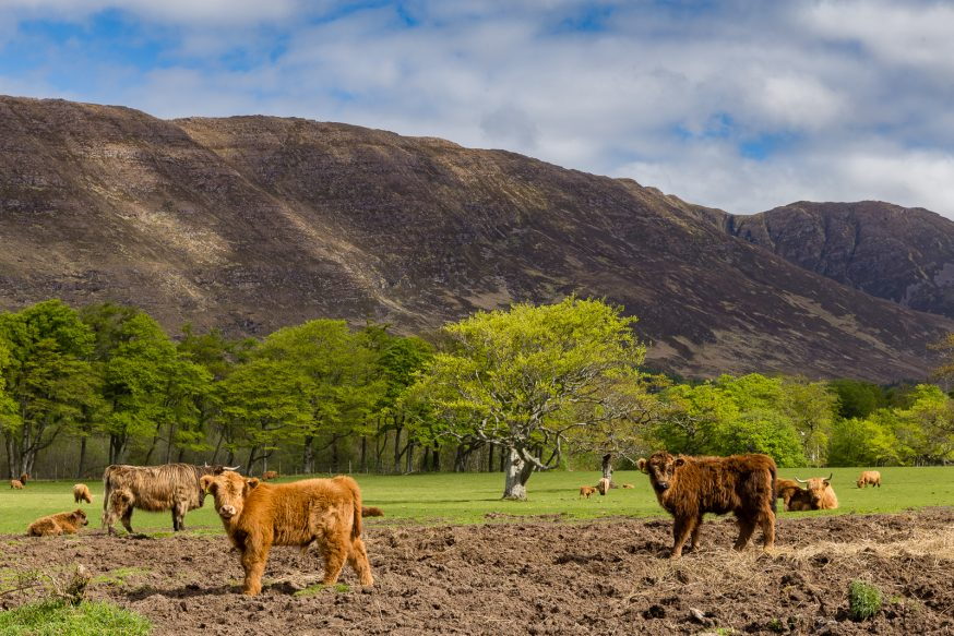 Applecross - Vache Highland - 2