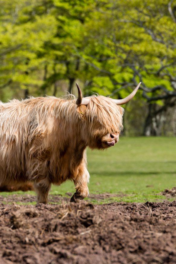 Applecross - Vache Highland - 3